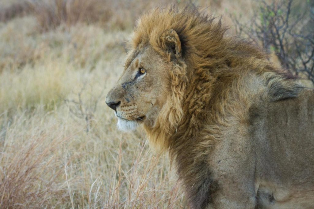 A male lion in the Moremi Game Reserve
