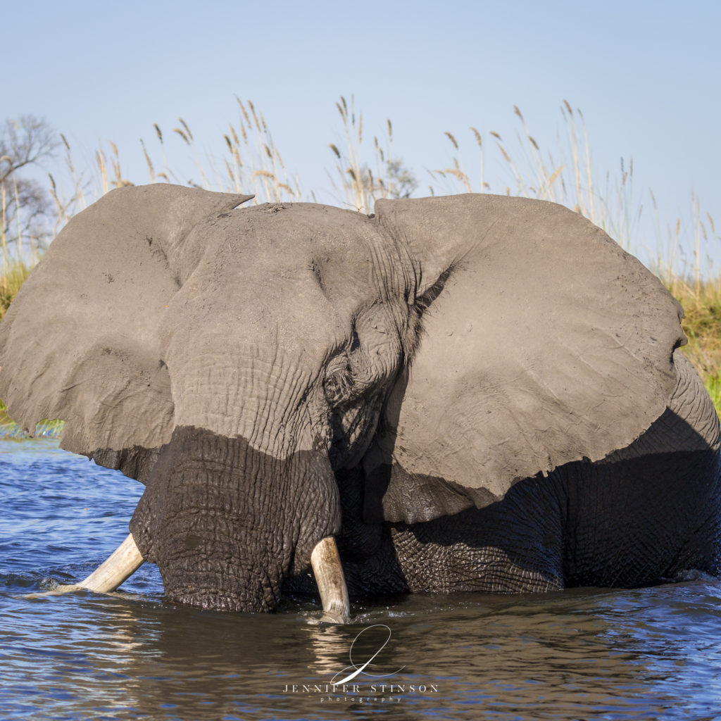 Elephant in the Okavango Delta from Camp Moremi