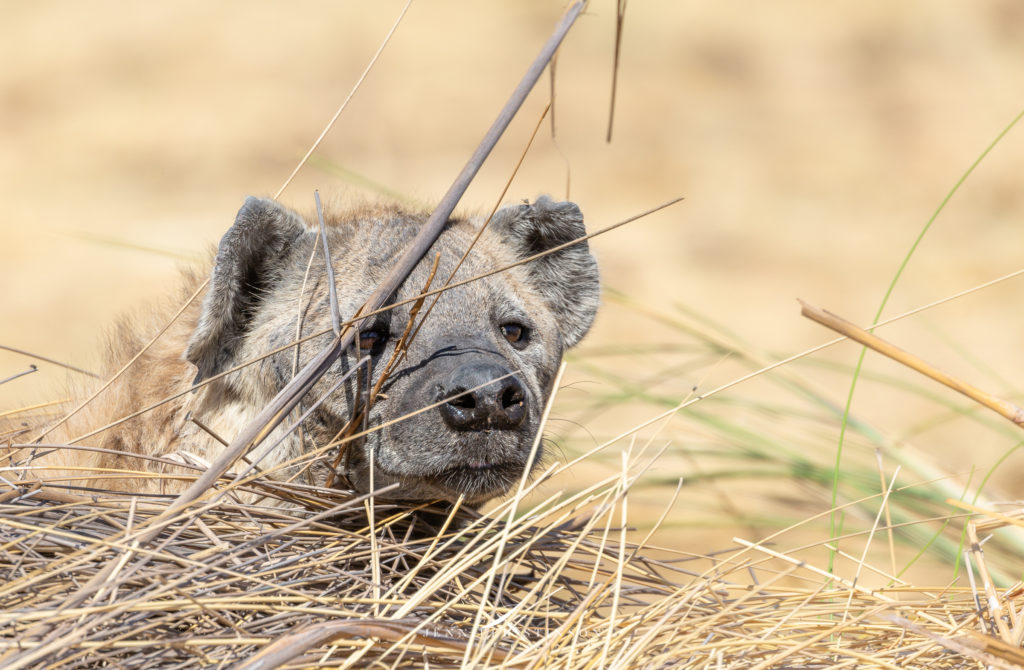 Hyena in the Moremi Game Reserve