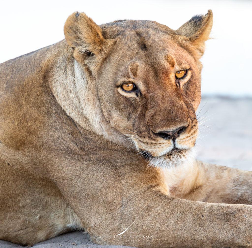 Lioness at Leroo La Tau