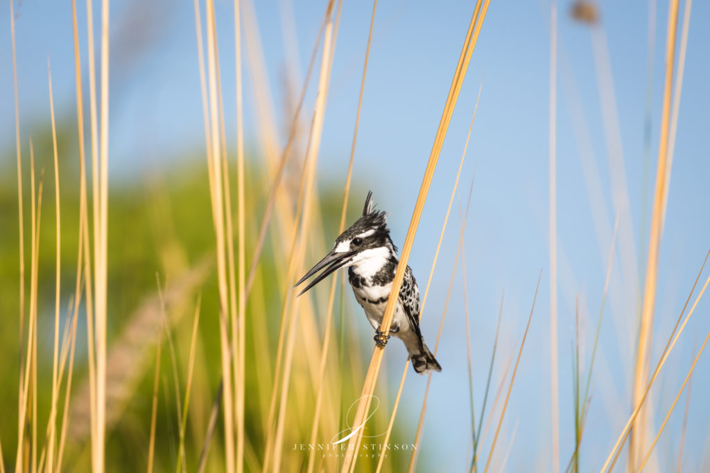 Pied Kingfisher in the Okavango Delta