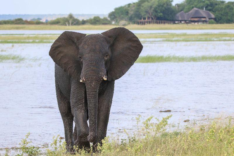 Elephant on the Chobe River in front of Chobe Savanna Lodge