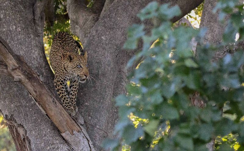 Spectacular leopard sighting in the Moremi Game Reserve