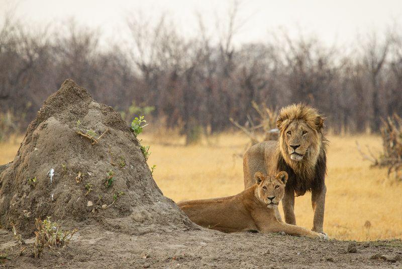 The Savute Marsh Pride in the Chobe National Park in Botswana