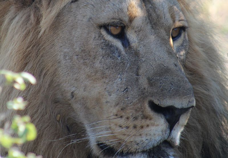 One of the male lions in the Savute Northern Pride