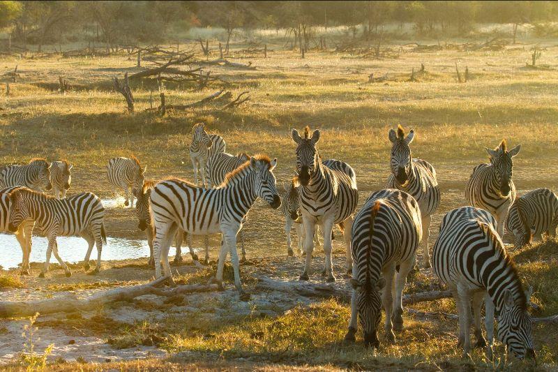 Zebra on the Boteti River with Botswana