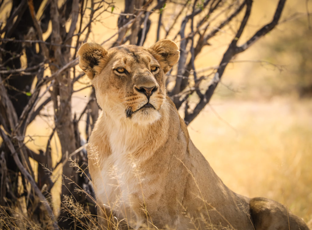 A young male lion in the Northern Pride of Savute in Botswana