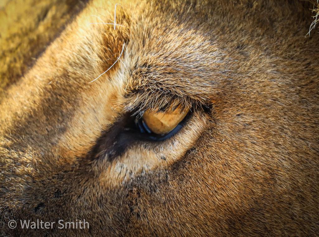 Lions of Savute