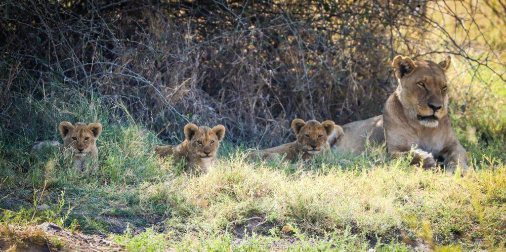 Members of the Northern Pride near Savute Safari Lodge