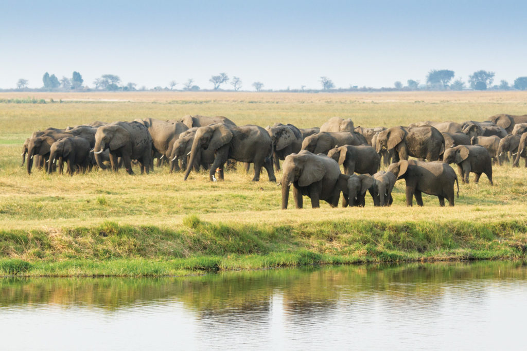 Elephants on the edge of the Chobe River