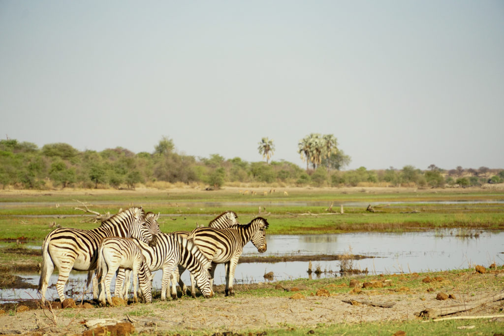 Zebra on the banks of the Boteti River taken this October 2020