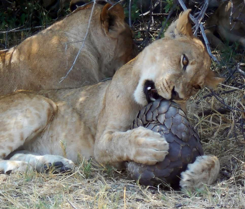 A lioness trying in vein to open a coiled pangolin.